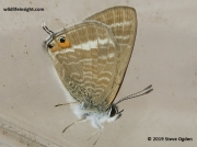 long-tailed-blue-butterfly- Lampides boeticus