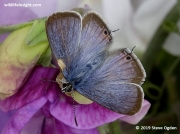 Male Long-tailed Blue butterfly.