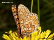 Marsh Fritillary butterfly (Euphydryas aurinia) nectaring on dandelion flower