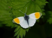 1553 Orange-tip (Anthocharis cardamines)