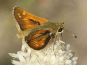 Silver-spotted Skipper-butterfly-(Hesperia comma) male - recorded in Spain © P Browning