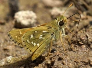 Silver-spotted Skipper (Hesperia comma) male underside recorded in Spain © P Browning