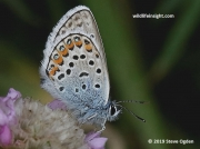 Silver-studded-Blue-butterfly-Plebejus argus-0047