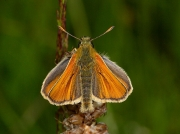 Small Skipper (Thymelicus sylvestris) - male