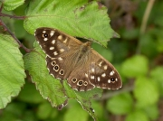 1614 Speckled Wood (Pararge aegeria)