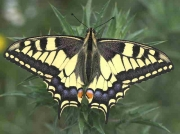 Swallowtail-butterfly-Papilio machaon