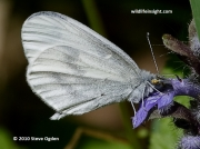 Wood White butterfly (Leptidea sinapis) 8272