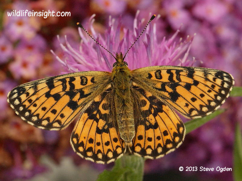 Small Pearl-bordered Fritillary butterfly photo Steve Ogden