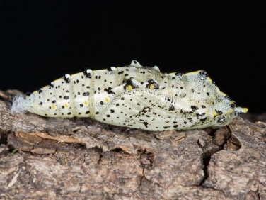 1549 Large White (Pieris brassicae) chrysalis