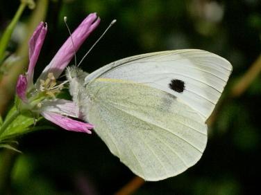 Large White butterfly (Pieris brassicae) male underside
