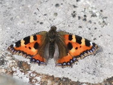 Small Tortoiseshell (Aglais urticae) Early butterfly