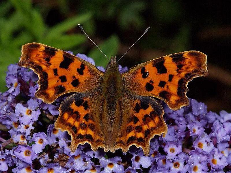 Comma Butterfly Polygonia C Album Wildlife Insight
