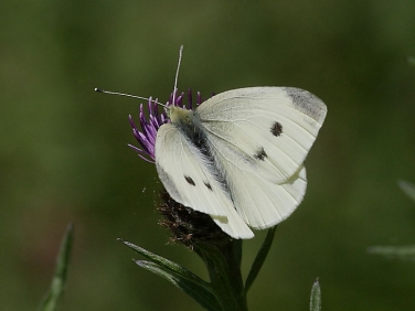 Female Small White Butterfly (Pieris rapae)