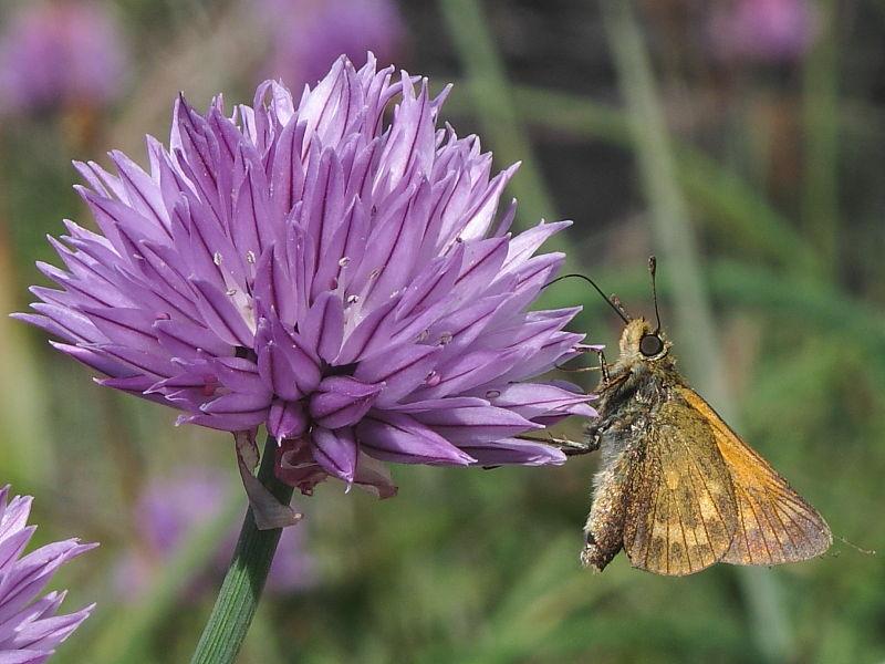 Underside of Large Skipper butterfly