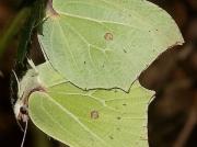 Brimstone butterflies (Gonepteryx rhamni) over 30 seen in Cabilla Woods, Bodmin in February  © 2019 Steve Ogden