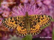Small Pearl-bordered Fritillary-butterfly-Boloria selene- ©  Steve Ogden