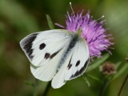 1549 Female Large White Butterfly (Pieris brassicae)