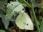 Small White Butterfly (Pieris rapae) female laying eggs on crucifer