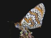 Glanville Fritillary (Melitaea cinxia) underside