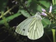 Green-veined White (Pieris napi)