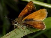 Large Skipper butterfly (Ochlodes faunus) female underside