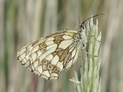 Marbled White (Melanargia galathea) female underside
