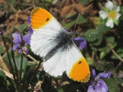 1553 Orange-tip (Anthocharis cardamines)