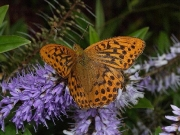 Silver-washed Fritillary (Argynnis paphia) male