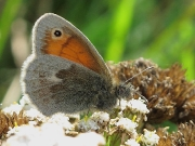 Small Heath (Coenonympha pamphilus) underside