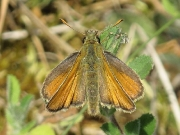 Small Skipper (Thymelicus sylvestris) butterfly - female