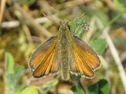Small Skipper (Thymelicus sylvestris) butterfly female
