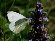 1550 Male Small White Butterfly (Pieris rapae) © Steve Ogden