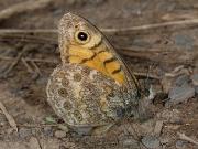Wall Brown (Lasiommata megera) underside