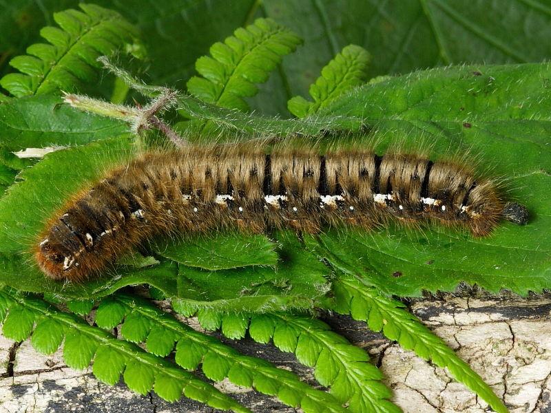 Identifying Hairy Caterpillars Wildlife Insight