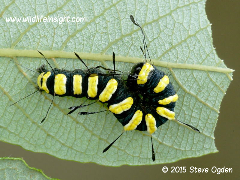 Alder moth 25mm larva (Acronicta alni) reared on sallow © 2015 Steve Ogden
