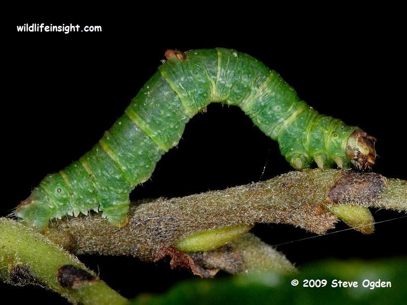 The Brimstone Moth green form of caterpillar (Opisthograptis luteolata) Marsland Nature Reserve Devon/Cornwall © 2009 Steve Ogden