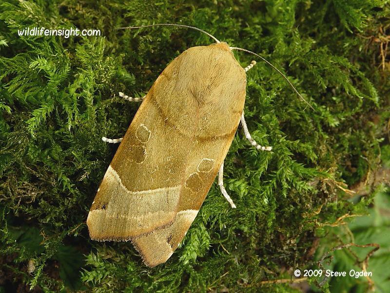 Broad-bordered Yellow Underwing (Noctua fimbriata) female