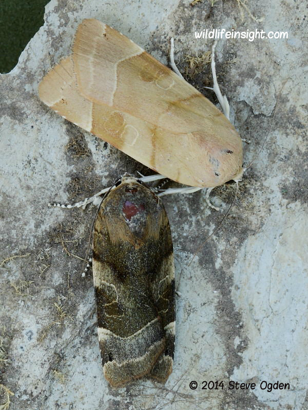 Male and female Broad bordered Yellow Underwing moths (Noctua fimbriata) © 2014 Steve Ogden