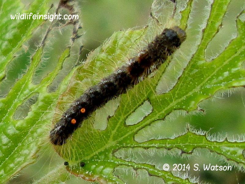 Brown-tail caterpillar (Euproctis chrysorrhoea) on bramble recorder S.Watson