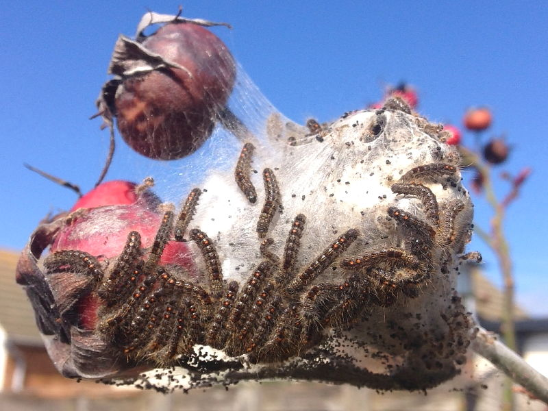 Brown-tail  caterpillars sighted in garden on rose ©  Vickii of Jaywick, Clacton on Sea