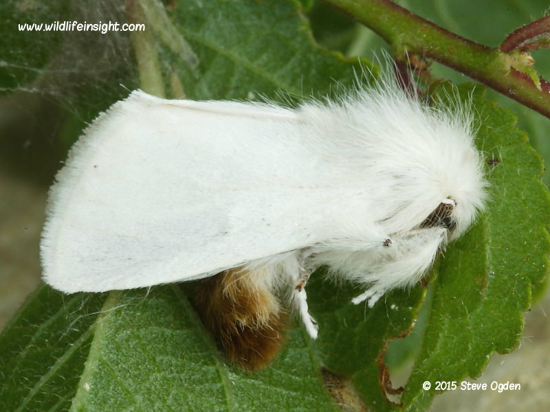 Brown-tail moth feigning death and revealing brown tail (Euproctis chrysorrhoea) © 2015 Steve Ogden