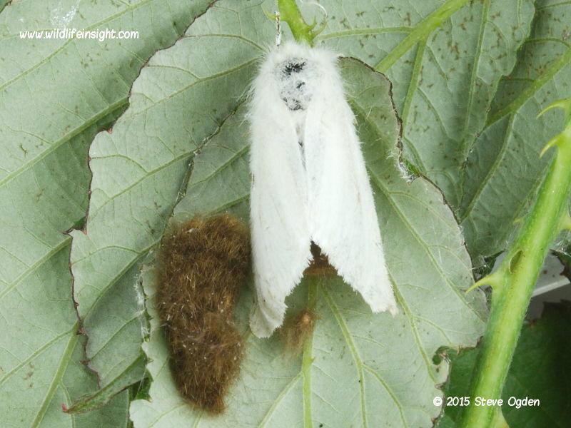 Brown-tail moth eggs and worn female moth (Euproctis chrysorrhoea) © 2015 Steve Ogden