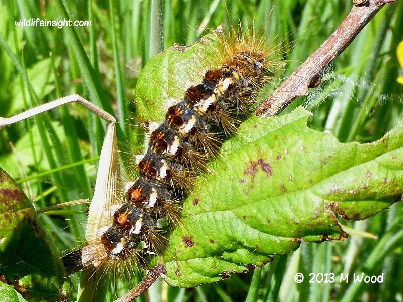 Brown-tail moth caterpillar fully grown (Euproctis chrysorrhoea) recorder M.Wood