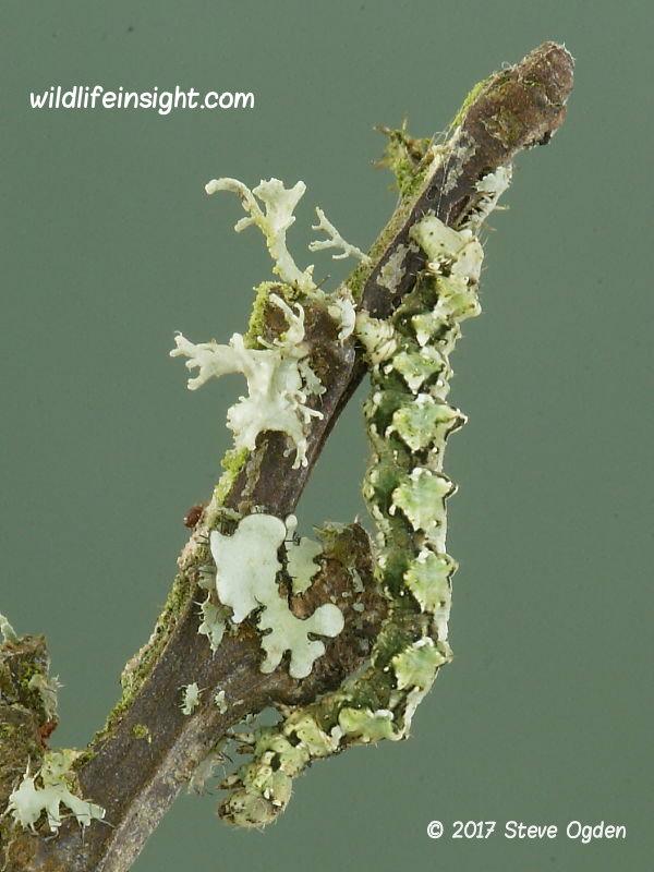 Brussels Lace (Cleorodes lichenaria) final instar caterpillar © 2017 Steve Ogden