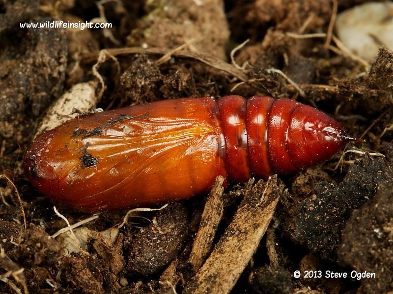 Cabbage Moth (Mamestra brassicae) unearthed pupa © 2013 Steve Ogden