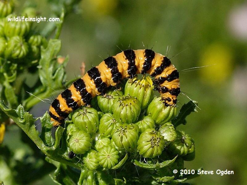 Cinnabar Moth Caterpillar (Tyria jacobaeae) © Steve Ogden 2010