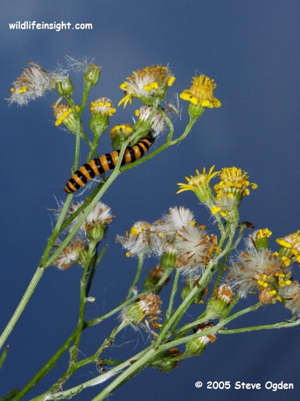 Cinnabar Moth Caterpillar (Tyria jacobaeae) © Steve Ogden 2005