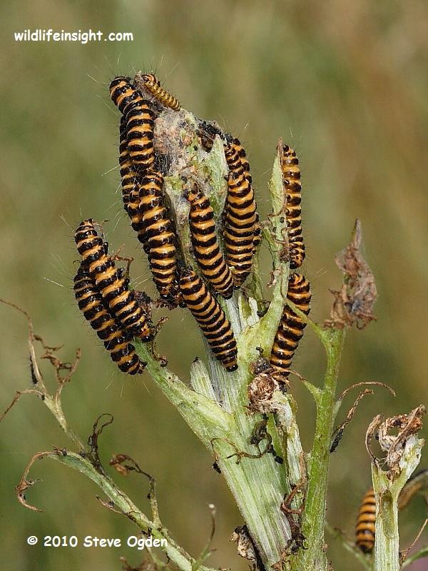Cinnabar Moth Caterpillars (Tyria jacobaeae) on ragwort © Steve Ogden 2010