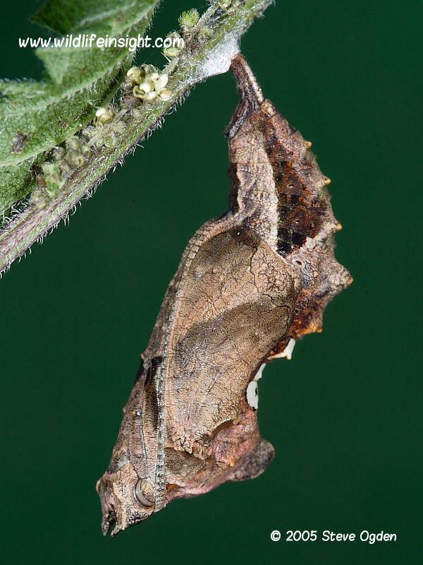 Comma butterfly chrysalis (Polygonia c-album) © 2005 Steve Ogden
