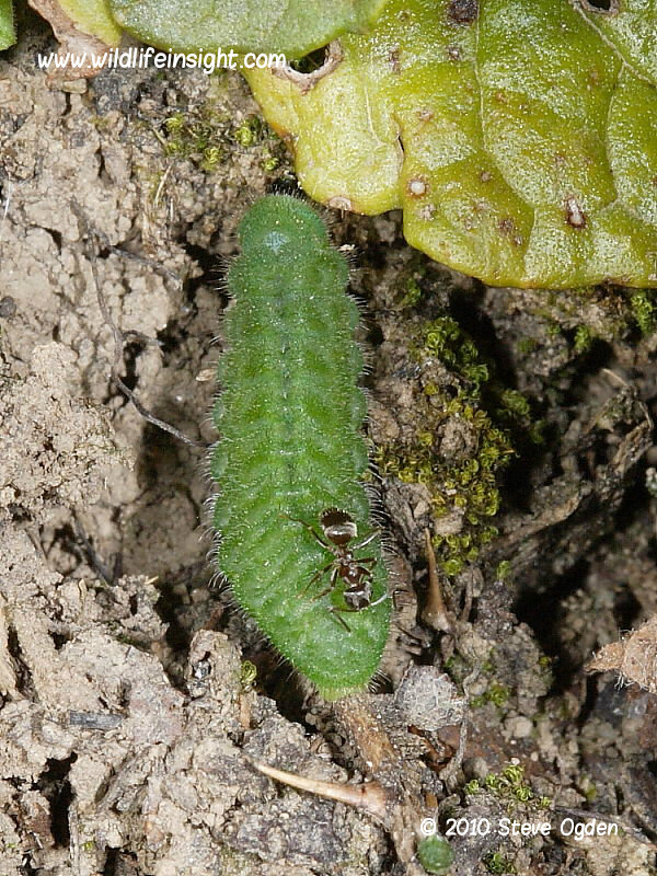 Common Blue butterfly caterpillar (Polyommatus icarus) with ant © 2010 Steve Ogden